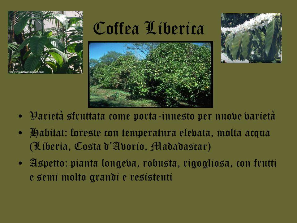 Coffea Excelsa Varietà simile all'Arabica Habitat: molto resistente alla siccità Aspetto: grani dall'aroma molto gradevole, hanno una resa molto elevata