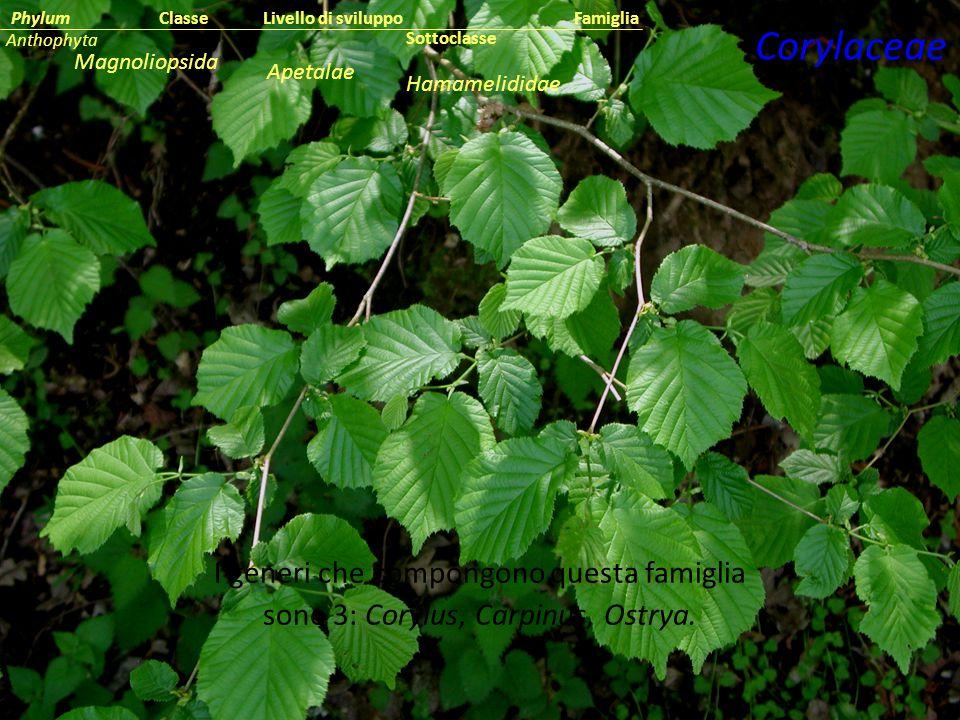I generi che compongono questa famiglia sono 3: Corylus, Carpinus, Ostrya.