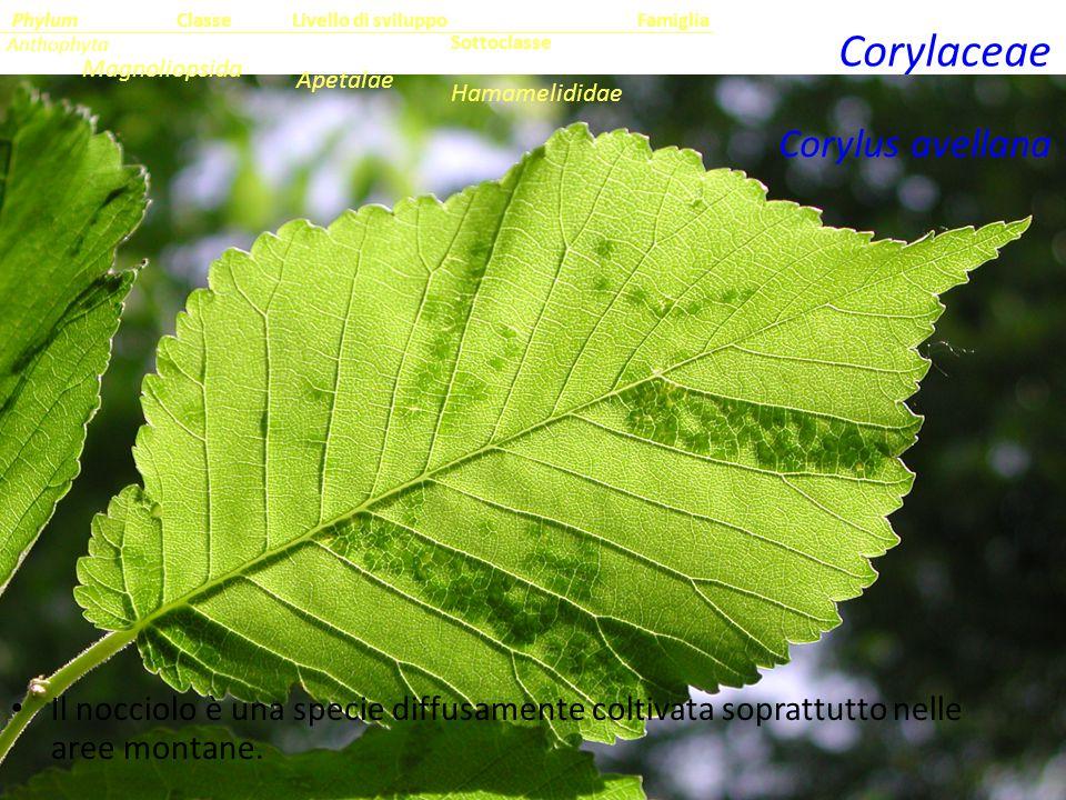 Corylus avellana Il nocciolo è una specie diffusamente coltivata soprattutto nelle aree montane.