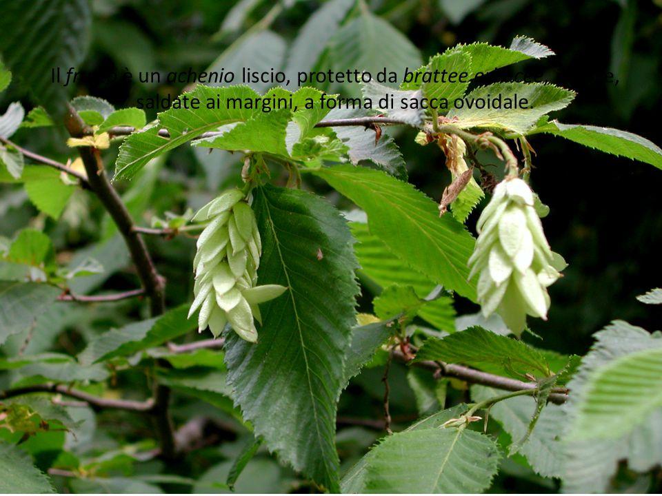 Il frutto è un achenio liscio, protetto da brattee erbacee, pelose, saldate ai margini, a forma di sacca ovoidale.