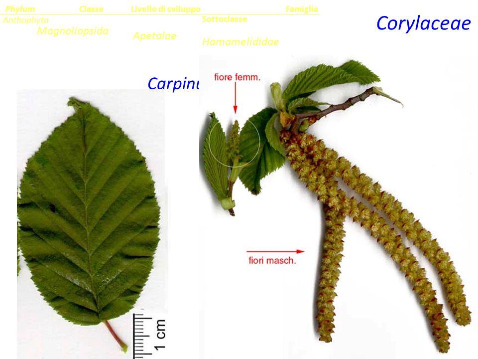 Carpinus betulus Corylaceae Sottoclasse ClassePhylumFamiglia Anthophyta Magnoliopsida Hamamelididae Livello di sviluppo Apetalae