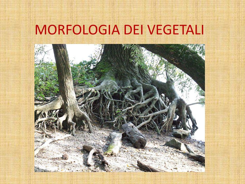 MORFOLOGIA DEI VEGETALI