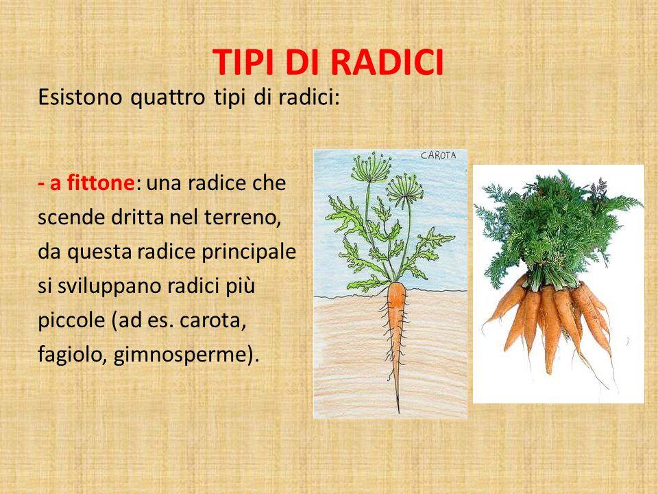 TIPI DI RADICI - a fittone: una radice che scende dritta nel terreno, da questa radice principale si sviluppano radici più piccole (ad es.