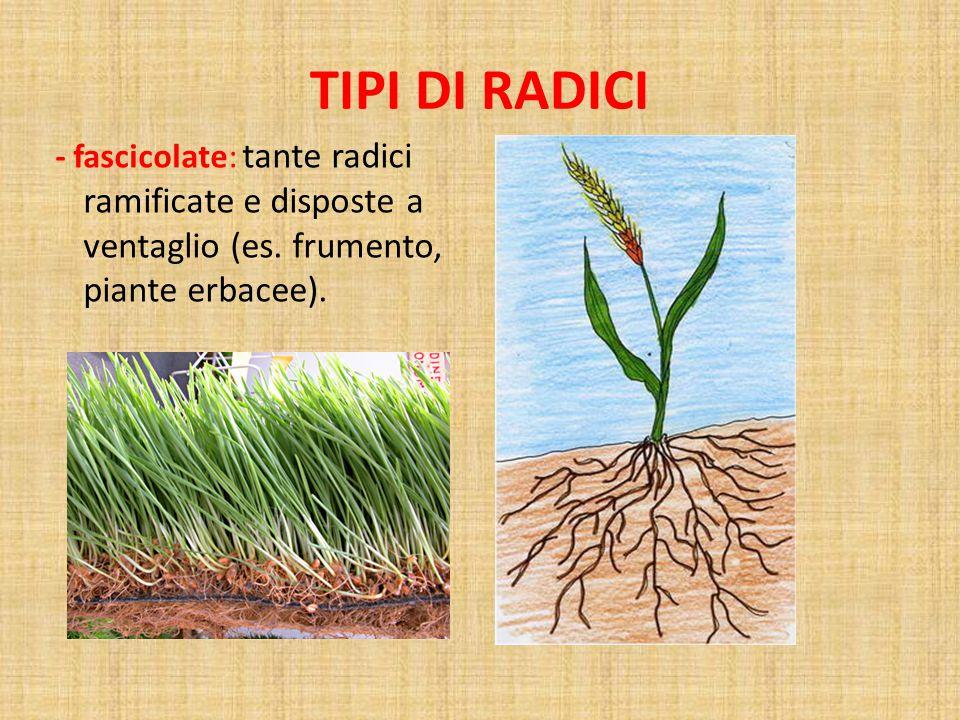 TIPI DI RADICI - fascicolate: tante radici ramificate e disposte a ventaglio (es.