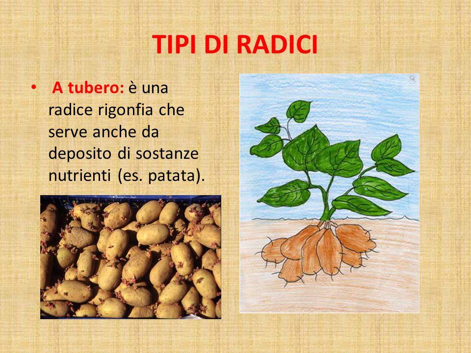 TIPI DI RADICI A tubero: è una radice rigonfia che serve anche da deposito di sostanze nutrienti (es.