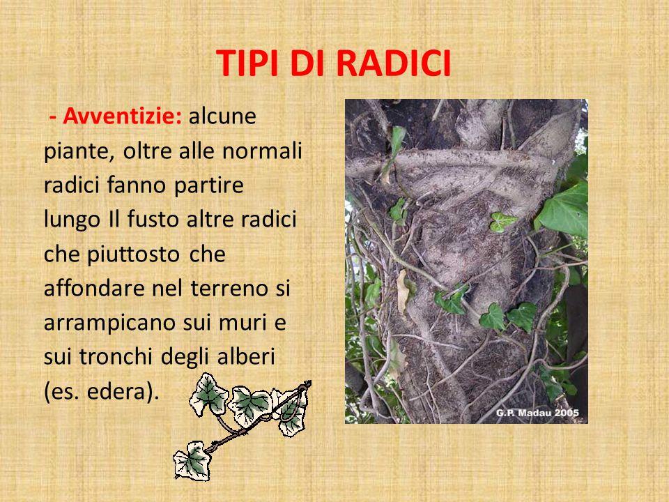 TIPI DI RADICI - Avventizie: alcune piante, oltre alle normali radici fanno partire lungo Il fusto altre radici che piuttosto che affondare nel terreno si arrampicano sui muri e sui tronchi degli alberi (es.