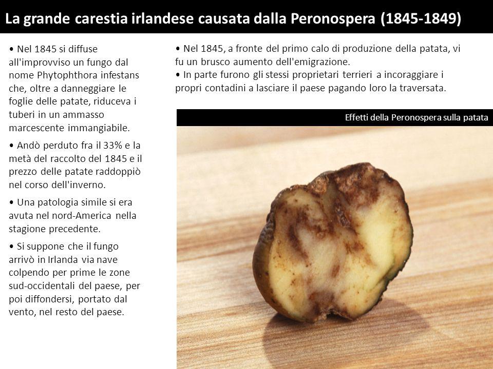 Nel 1845 si diffuse all improvviso un fungo dal nome Phytophthora infestans che, oltre a danneggiare le foglie delle patate, riduceva i tuberi in un ammasso marcescente immangiabile.