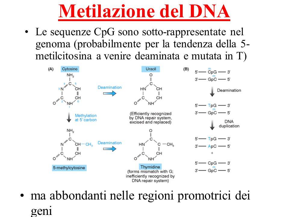 Metilazione del DNA Le sequenze CpG sono sotto-rappresentate nel genoma (probabilmente per la tendenza della 5- metilcitosina a venire deaminata e mut