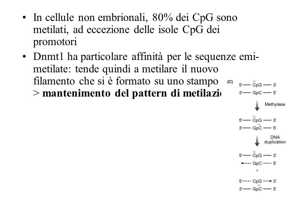 In cellule non embrionali, 80% dei CpG sono metilati, ad eccezione delle isole CpG dei promotori Dnmt1 ha particolare affinità per le sequenze emi- me