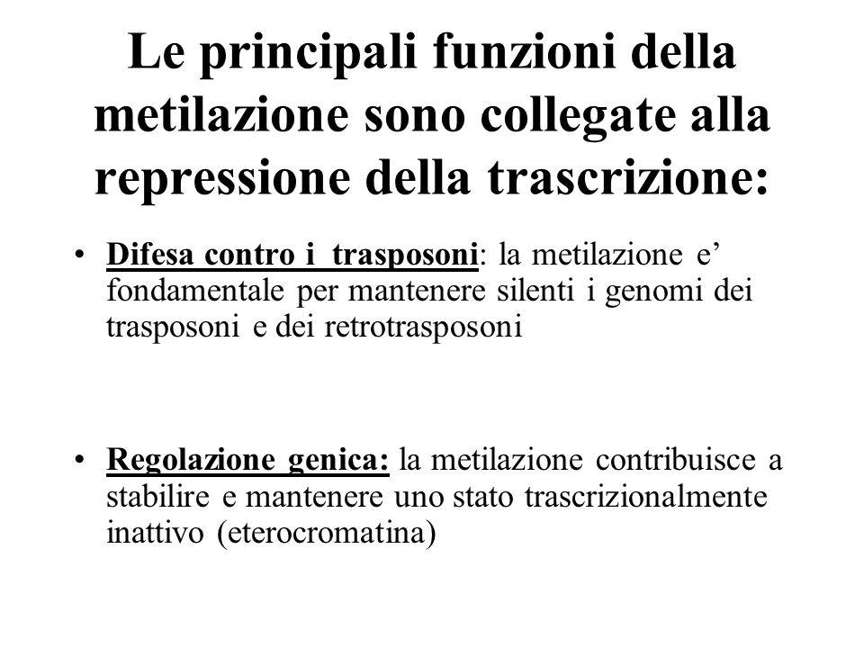 Le principali funzioni della metilazione sono collegate alla repressione della trascrizione: Difesa contro i trasposoni: la metilazione e' fondamental