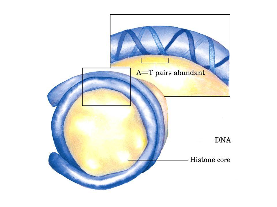  ESSENZIALI NELLA STABILITA' DEI CROMOSOMI *COMPOSTI DA ETEROCROMATINA * HANNO UNA SEQUENZA COMUNE ( in uomo TTAGGG) Telomeri