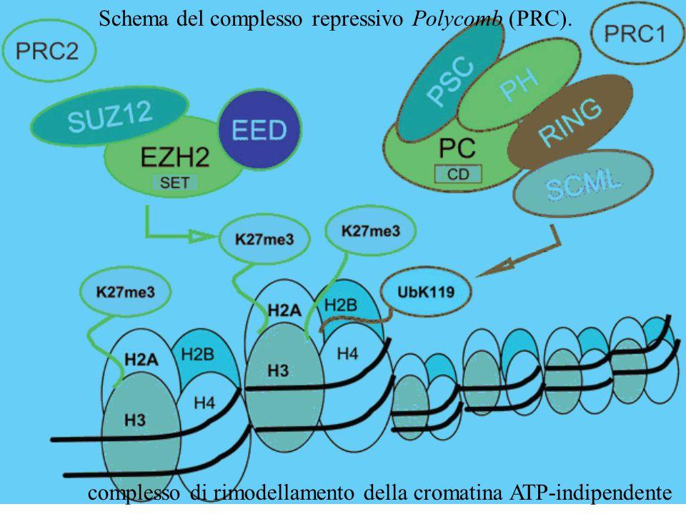 Schema del complesso repressivo Polycomb (PRC). complesso di rimodellamento della cromatina ATP-indipendente