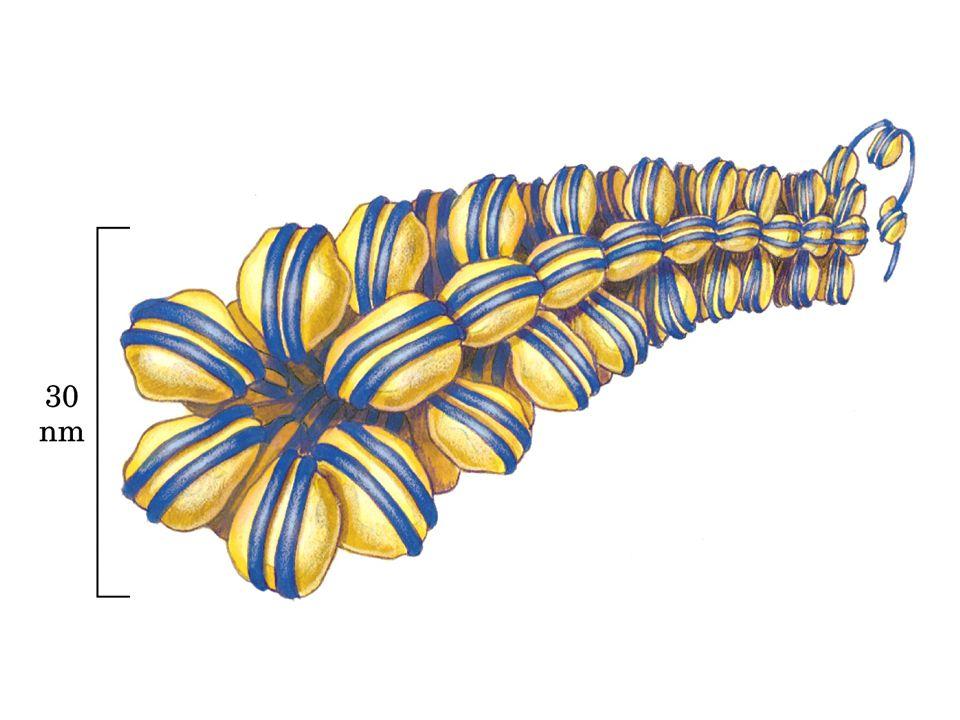Metilazione del DNA Nei vertebrati la metilazione interessa solamente la Citosina sul dinucleotide CpG : l'enzima citosina metiltransferasi aggiunge un gruppo metile al C 5 della citosina:il risultato è la 5- metilcitosina.