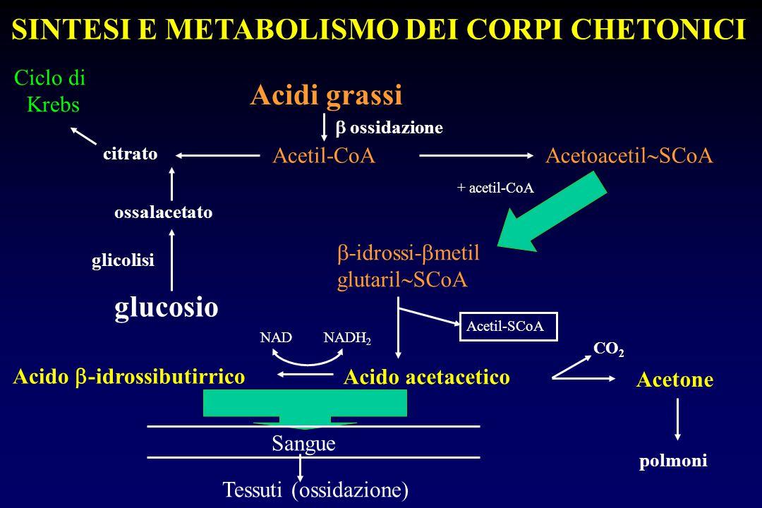 Acidi grassi Acetil-CoA  ossidazione glucosio ossalacetato glicolisi Ciclo di Krebs citrato Acetoacetil  SCoA  -idrossi-  metil glutaril  SCoA +