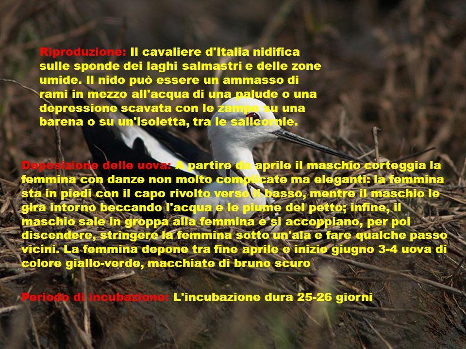 Riproduzione: Il cavaliere d Italia nidifica sulle sponde dei laghi salmastri e delle zone umide.