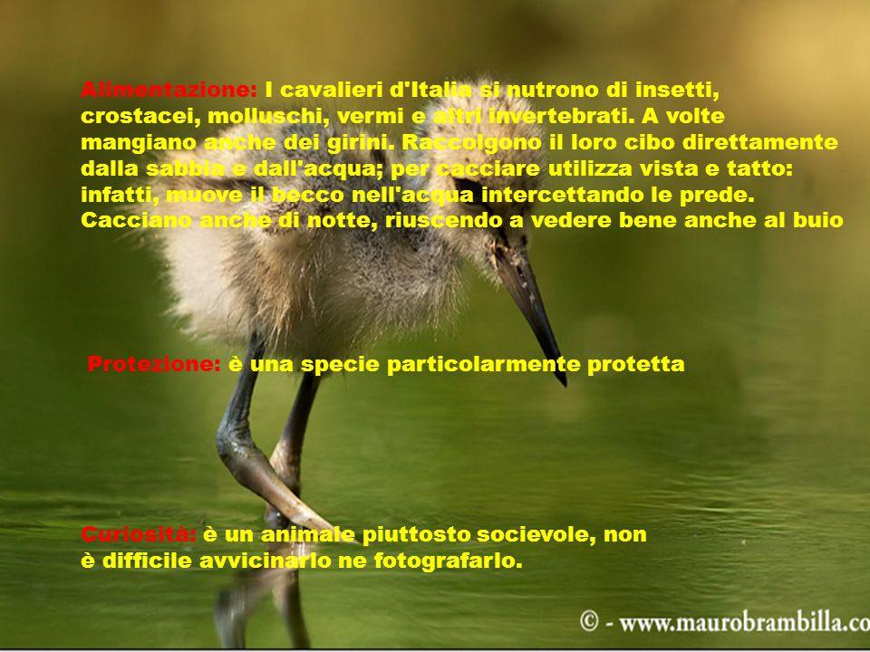Alimentazione: I cavalieri d Italia si nutrono di insetti, crostacei, molluschi, vermi e altri invertebrati.