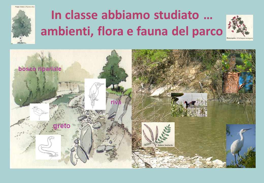 In classe abbiamo studiato … ambienti, flora e fauna del parco bosco ripariale greto riva