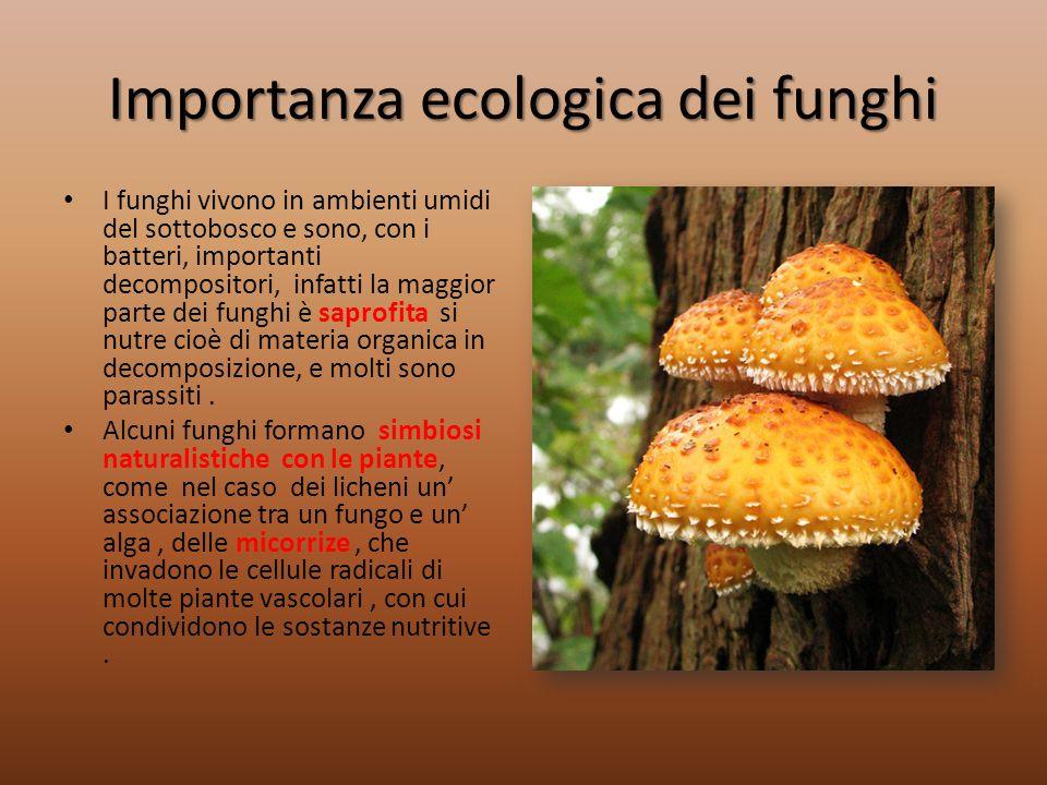 Importanza ecologica dei funghi I funghi vivono in ambienti umidi del sottobosco e sono, con i batteri, importanti decompositori, infatti la maggior p