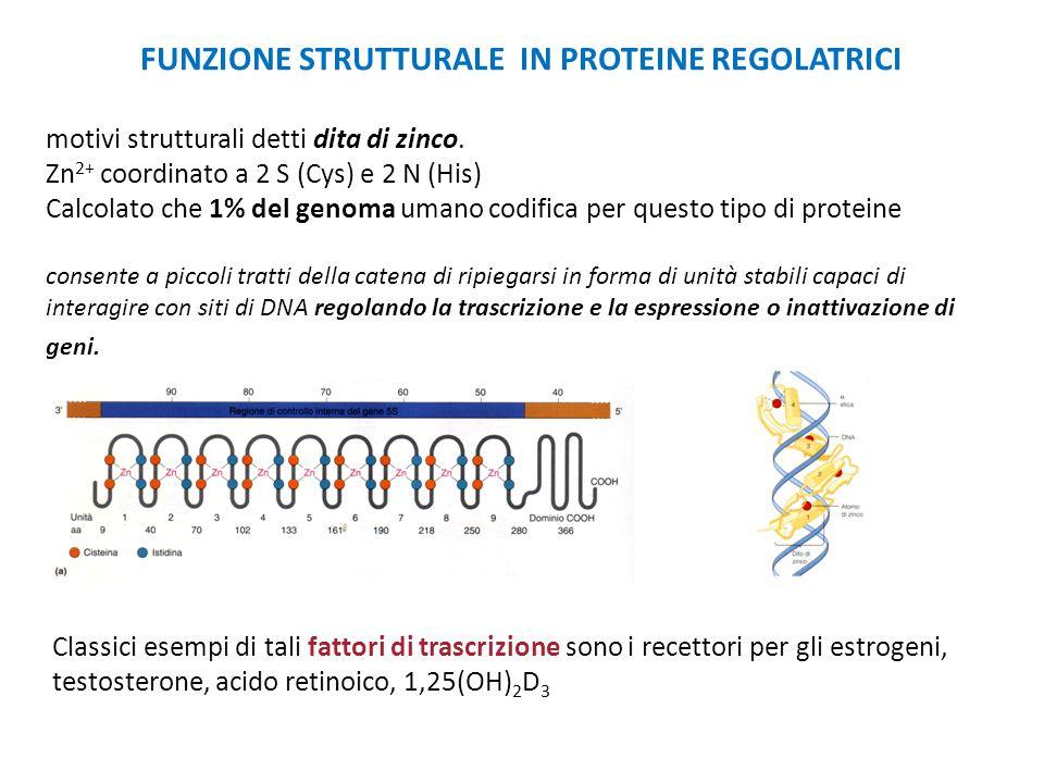 FUNZIONE STRUTTURALE IN PROTEINE REGOLATRICI motivi strutturali detti dita di zinco. Zn 2+ coordinato a 2 S (Cys) e 2 N (His) Calcolato che 1% del gen