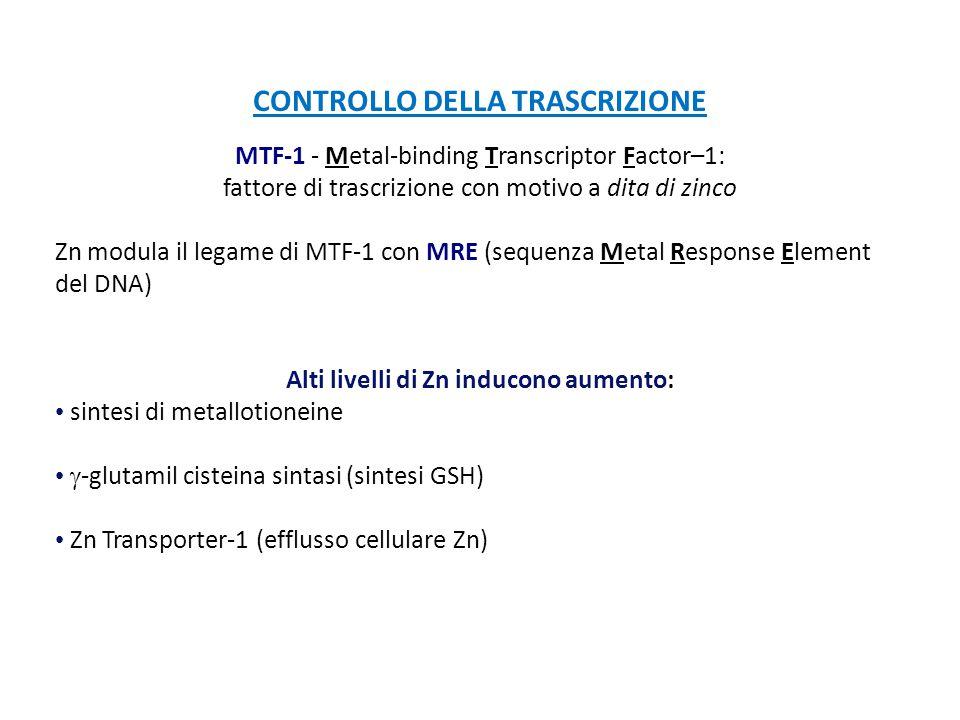 CONTROLLO DELLA TRASCRIZIONE MTF-1 - Metal-binding Transcriptor Factor–1: fattore di trascrizione con motivo a dita di zinco Zn modula il legame di MT
