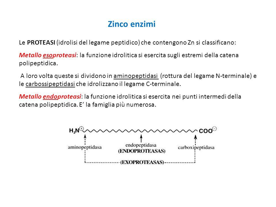 Zinco enzimi Le PROTEASI (idrolisi del legame peptidico) che contengono Zn si classificano: Metallo esoproteasi: la funzione idrolitica si esercita su