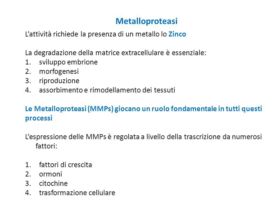 L'attività richiede la presenza di un metallo lo Zinco La degradazione della matrice extracellulare è essenziale: 1. sviluppo embrione 2. morfogenesi