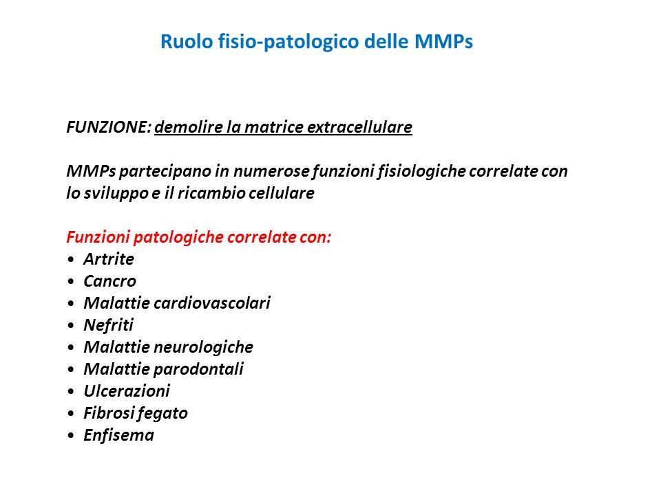 Ruolo fisio-patologico delle MMPs FUNZIONE: demolire la matrice extracellulare MMPs partecipano in numerose funzioni fisiologiche correlate con lo svi