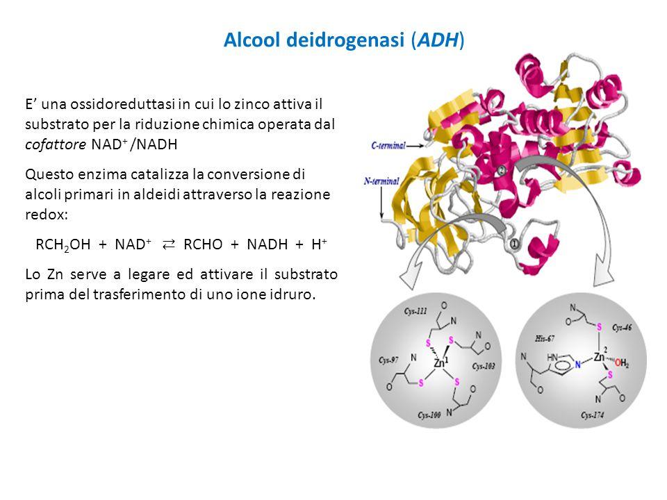 Alcool deidrogenasi (ADH) E' una ossidoreduttasi in cui lo zinco attiva il substrato per la riduzione chimica operata dal cofattore NAD + /NADH Questo