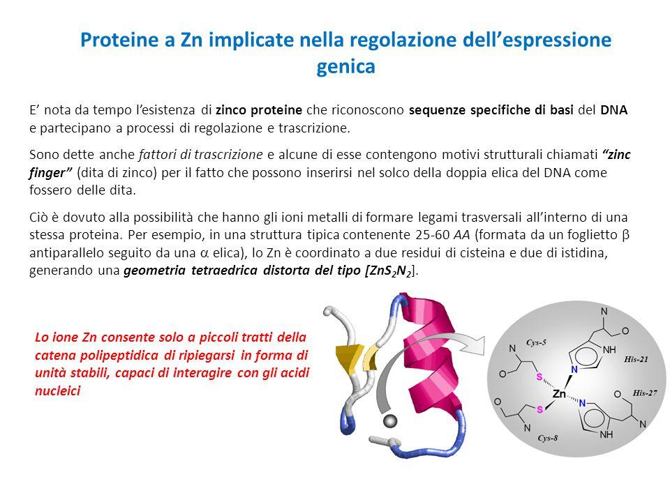Proteine a Zn implicate nella regolazione dell'espressione genica E' nota da tempo l'esistenza di zinco proteine che riconoscono sequenze specifiche d