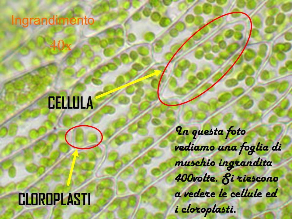 Ingrandimento 40x In questa foto vediamo una foglia di muschio ingrandita 400volte. Si riescono a vedere le cellule ed i cloroplasti. CELLULA CLOROPLA