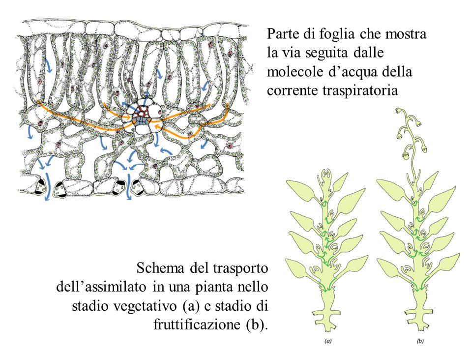 Parte di foglia che mostra la via seguita dalle molecole d'acqua della corrente traspiratoria Schema del trasporto dell'assimilato in una pianta nello