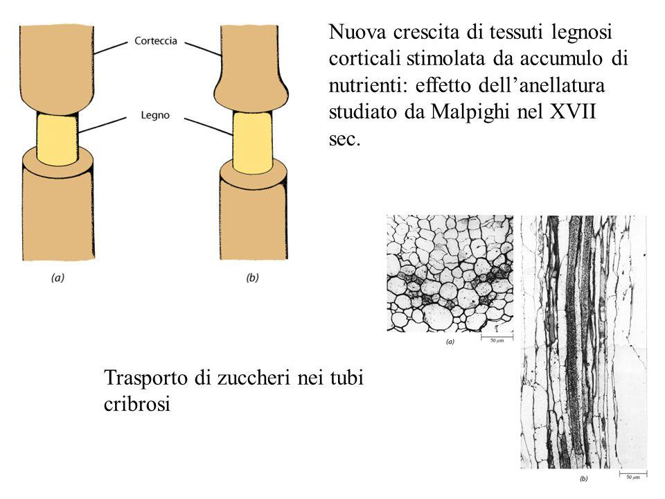 Nuova crescita di tessuti legnosi corticali stimolata da accumulo di nutrienti: effetto dell'anellatura studiato da Malpighi nel XVII sec. Trasporto d