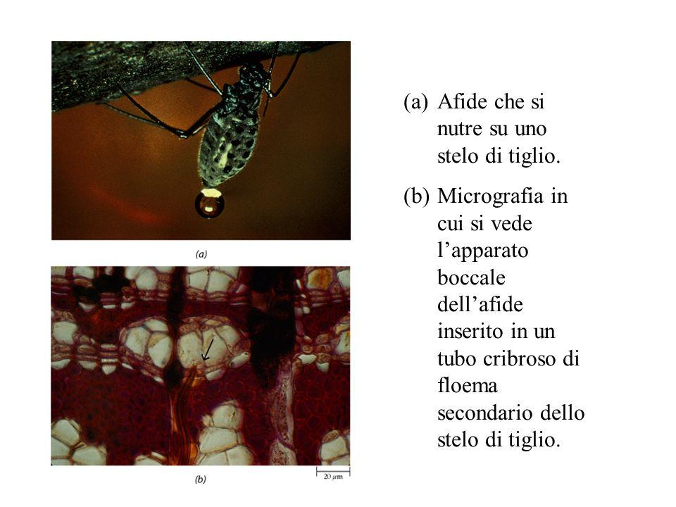 (a)Afide che si nutre su uno stelo di tiglio. (b)Micrografia in cui si vede l'apparato boccale dell'afide inserito in un tubo cribroso di floema secon