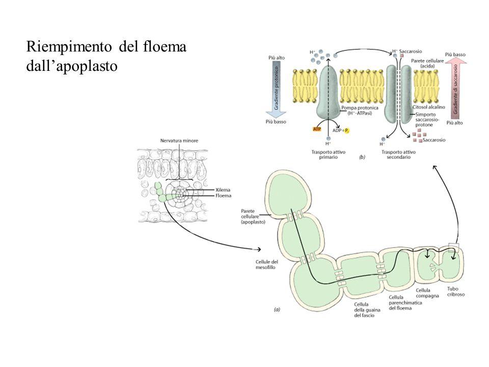 Riempimento del floema dall'apoplasto