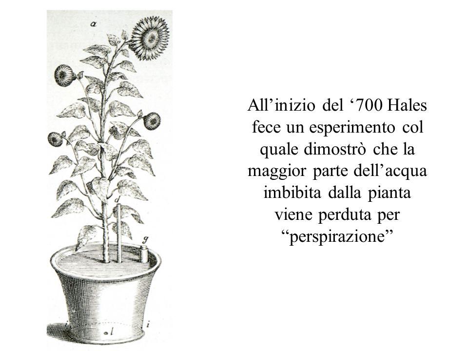 """All'inizio del '700 Hales fece un esperimento col quale dimostrò che la maggior parte dell'acqua imbibita dalla pianta viene perduta per """"perspirazion"""