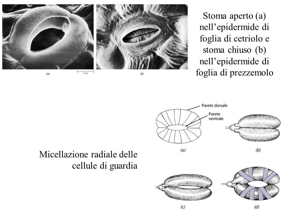 Stoma aperto (a) nell'epidermide di foglia di cetriolo e stoma chiuso (b) nell'epidermide di foglia di prezzemolo Micellazione radiale delle cellule d