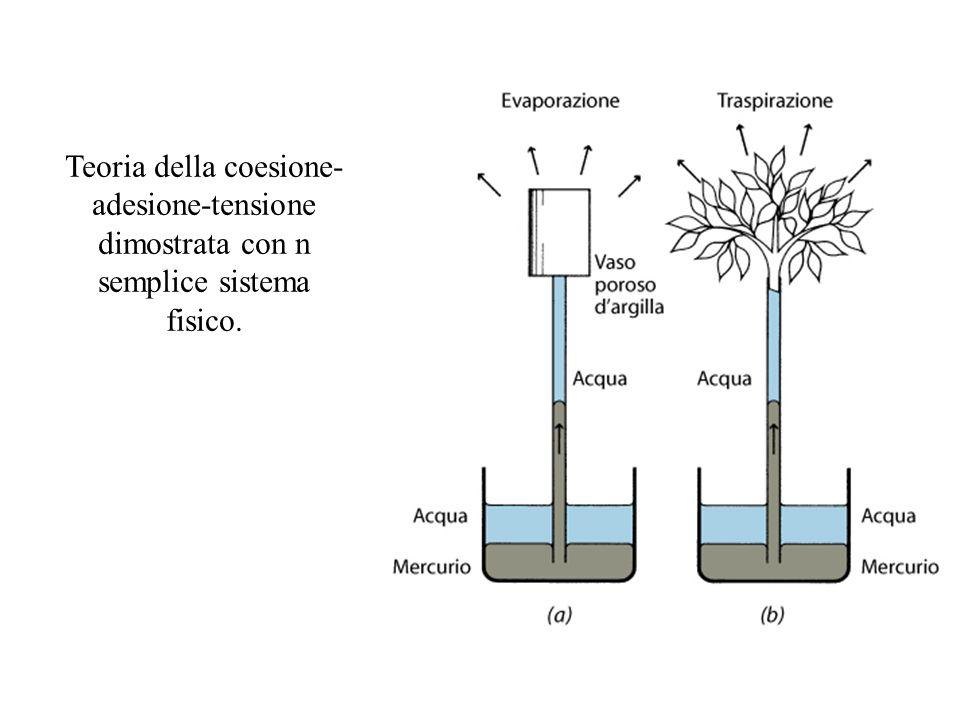 Teoria della coesione- adesione-tensione dimostrata con n semplice sistema fisico.