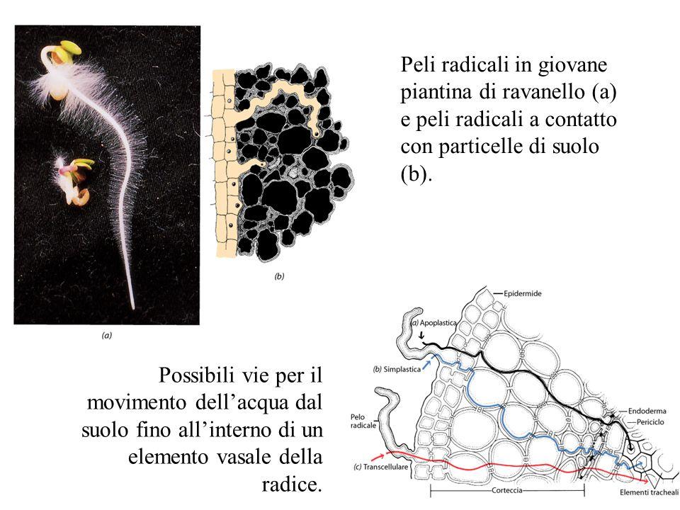 Peli radicali in giovane piantina di ravanello (a) e peli radicali a contatto con particelle di suolo (b). Possibili vie per il movimento dell'acqua d