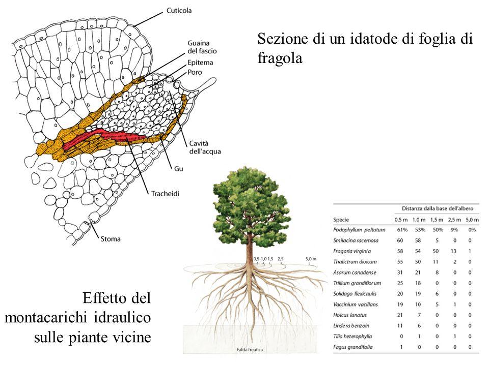 Sezione di un idatode di foglia di fragola Effetto del montacarichi idraulico sulle piante vicine