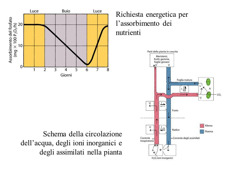 Richiesta energetica per l'assorbimento dei nutrienti Schema della circolazione dell'acqua, degli ioni inorganici e degli assimilati nella pianta
