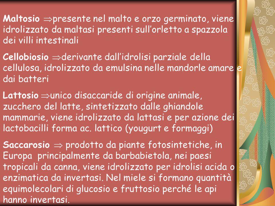 Maltosio  presente nel malto e orzo germinato, viene idrolizzato da maltasi presenti sull'orletto a spazzola dei villi intestinali Cellobiosio  derivante dall'idrolisi parziale della cellulosa, idrolizzato da emulsina nelle mandorle amare e dai batteri Lattosio  unico disaccaride di origine animale, zucchero del latte, sintetizzato dalle ghiandole mammarie, viene idrolizzato da lattasi e per azione dei lactobacilli forma ac.