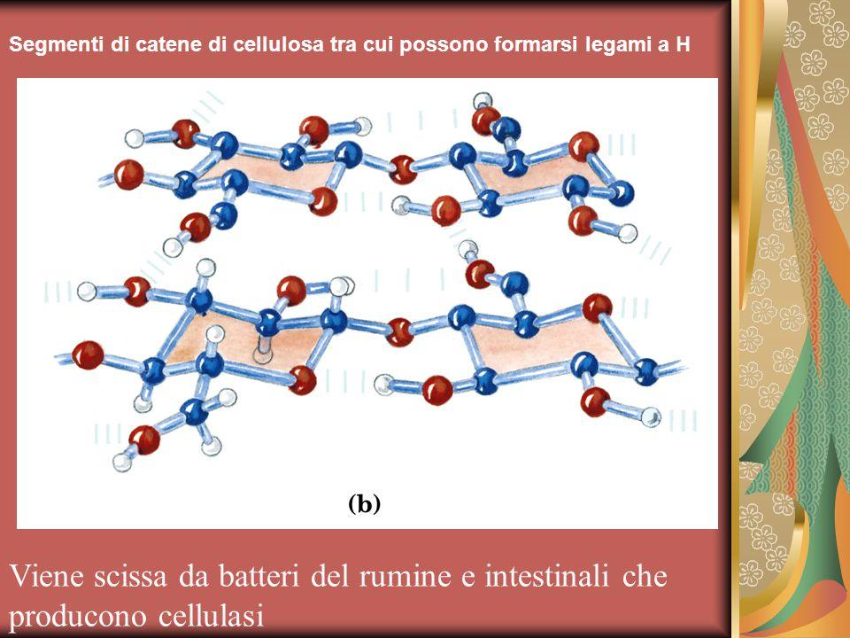 Segmenti di catene di cellulosa tra cui possono formarsi legami a H Viene scissa da batteri del rumine e intestinali che producono cellulasi