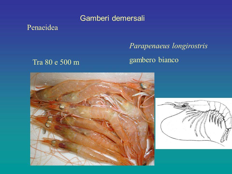 Gamberi demersali Penaeidea Parapenaeus longirostris gambero bianco Tra 80 e 500 m