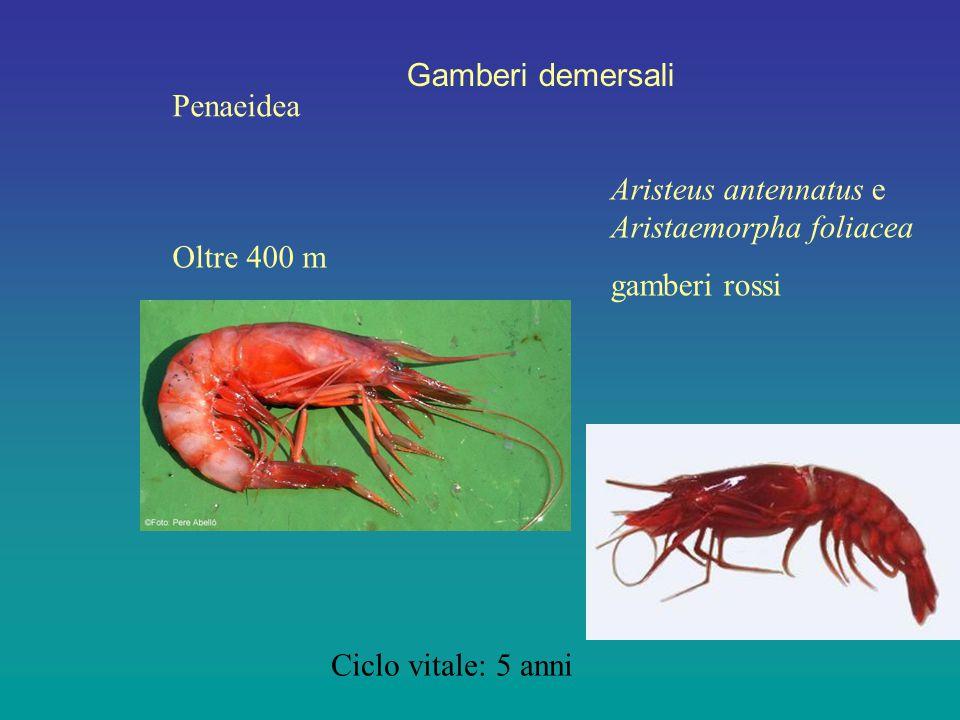 Gamberi demersali Penaeidea Oltre 400 m Aristeus antennatus e Aristaemorpha foliacea gamberi rossi Ciclo vitale: 5 anni