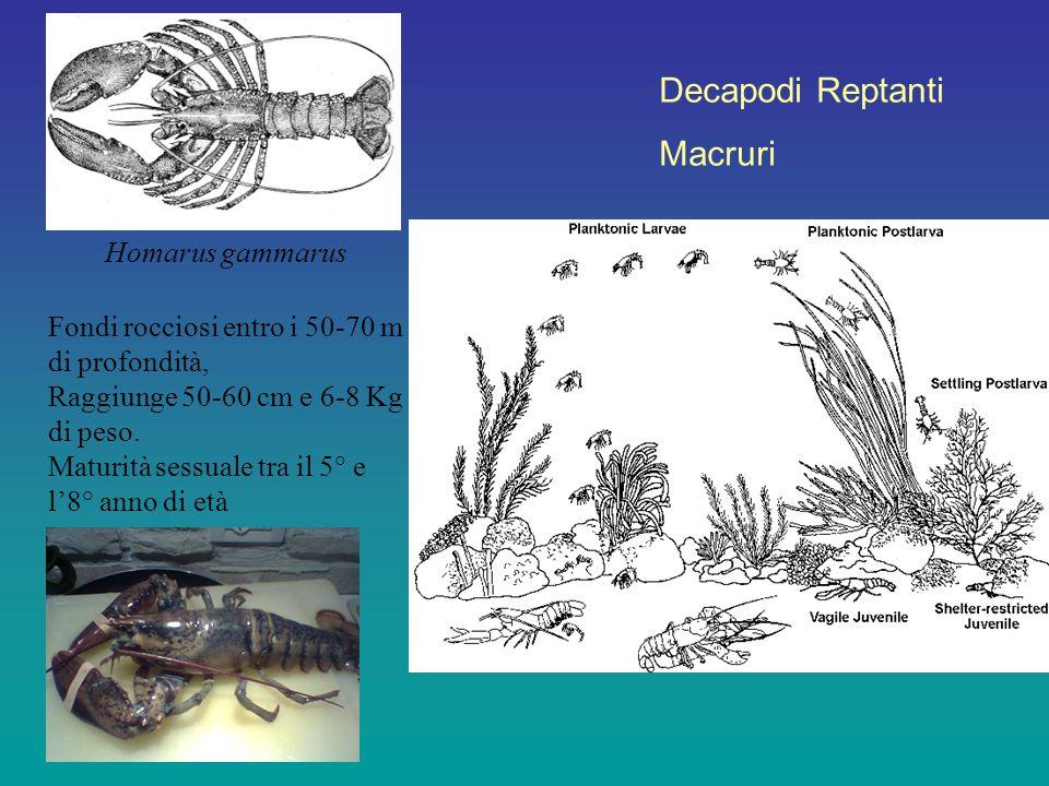 Fondi rocciosi entro i 50-70 m di profondità, Raggiunge 50-60 cm e 6-8 Kg di peso. Maturità sessuale tra il 5° e l'8° anno di età Decapodi Reptanti Ma