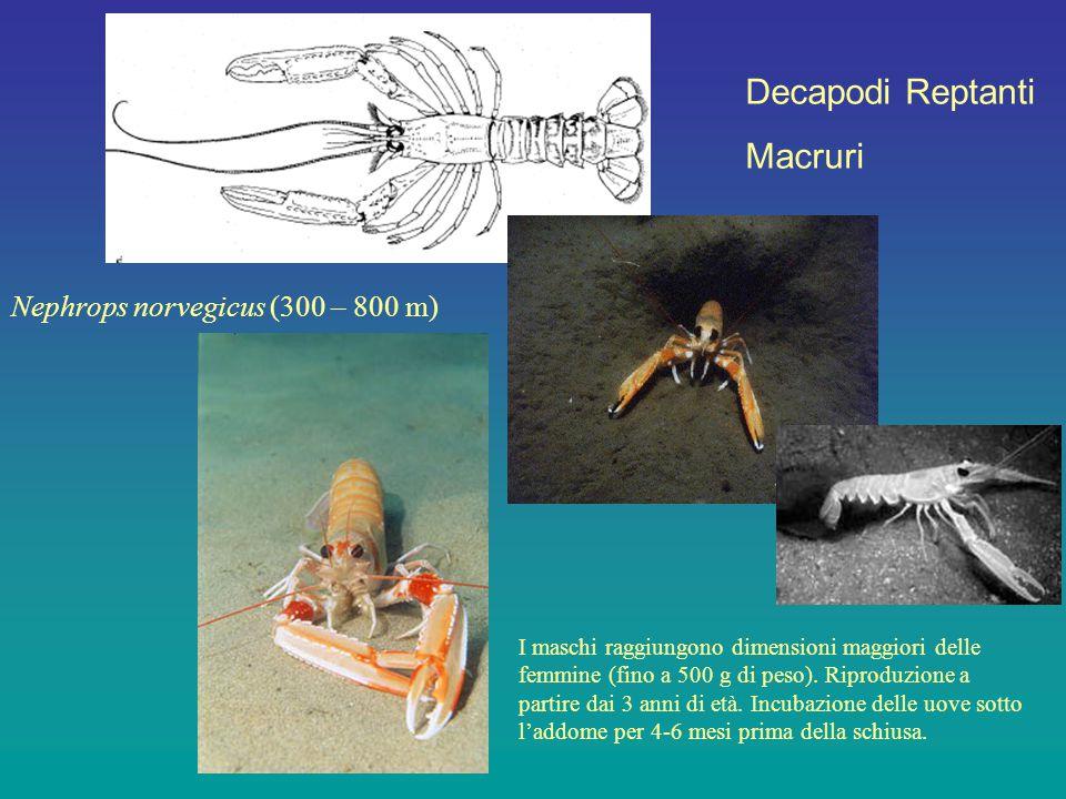 Decapodi Reptanti Macruri Nephrops norvegicus (300 – 800 m) I maschi raggiungono dimensioni maggiori delle femmine (fino a 500 g di peso). Riproduzion