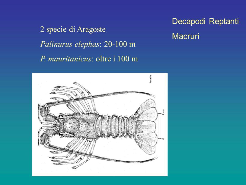 Decapodi Reptanti Macruri 2 specie di Aragoste Palinurus elephas: 20-100 m P. mauritanicus: oltre i 100 m