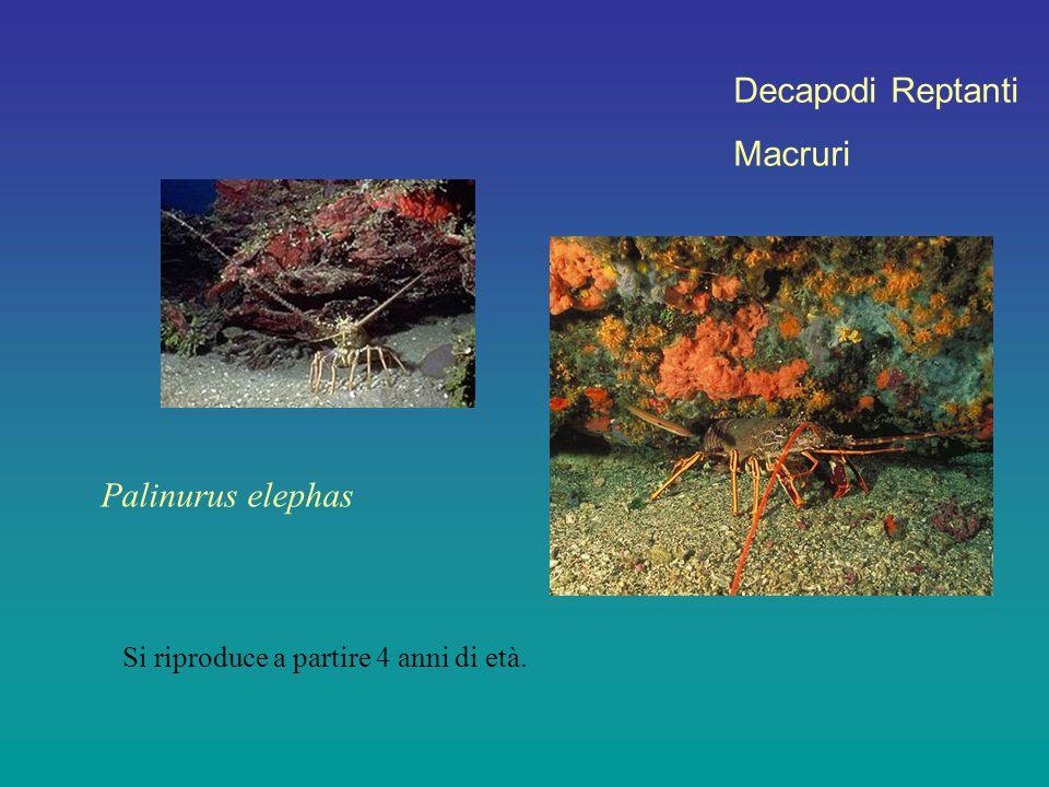 Decapodi Reptanti Macruri Si riproduce a partire 4 anni di età. Palinurus elephas