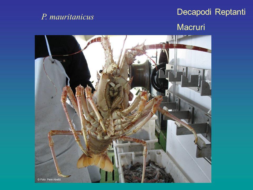 Decapodi Reptanti Macruri P. mauritanicus