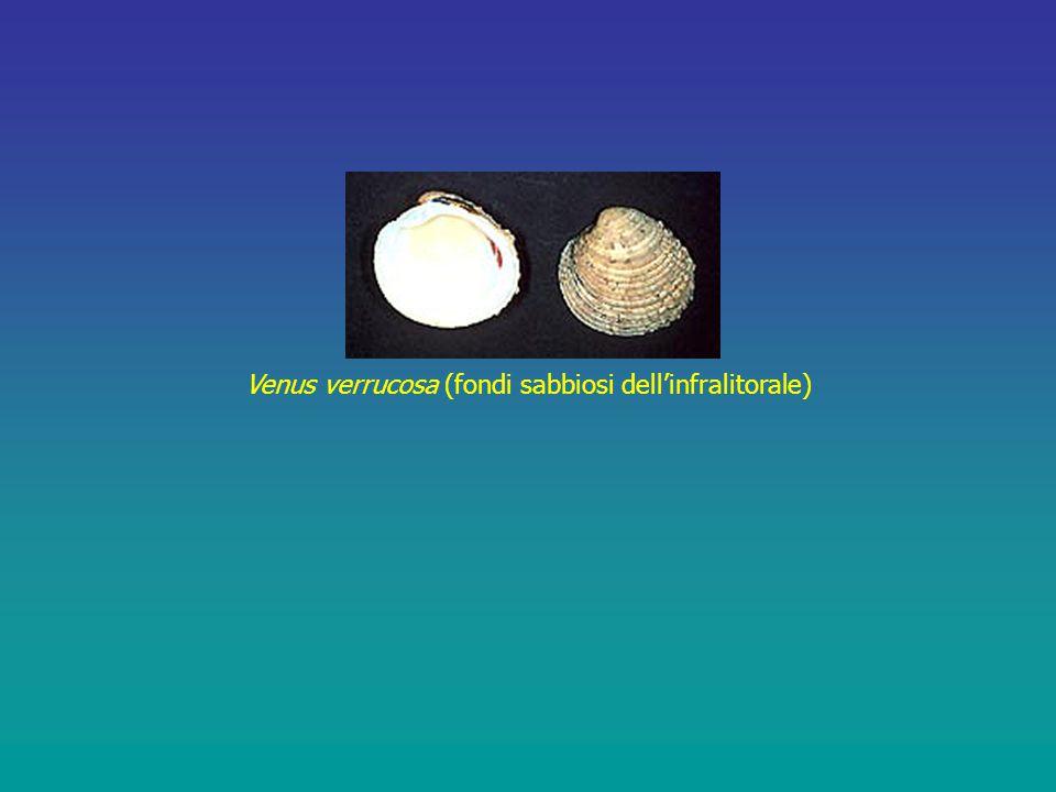 Venus verrucosa (fondi sabbiosi dell'infralitorale)